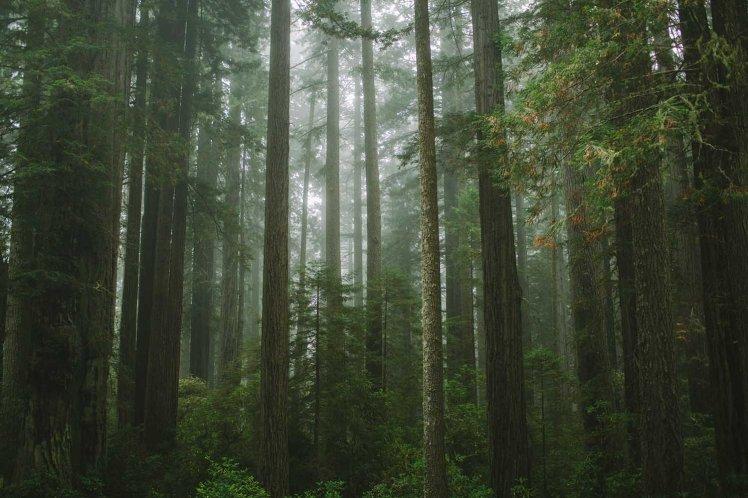 redwoods-41